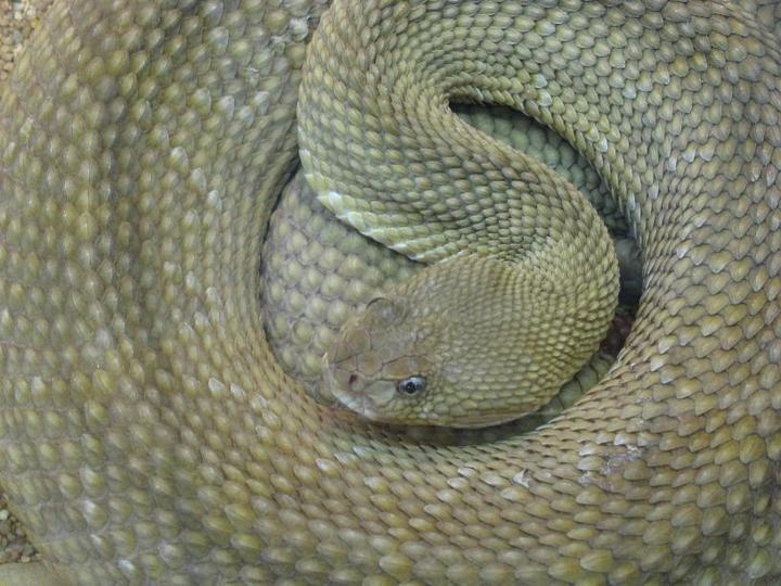змея василиска фото