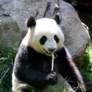 gro er panda ailuropoda melanoleuca naturfakten. Black Bedroom Furniture Sets. Home Design Ideas