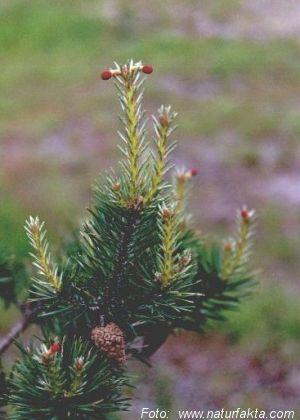 stor Pinus bilder