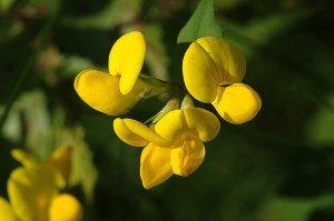 gul blomst navn